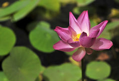 Lotus flower. Close-up on a lotus flower Royalty Free Stock Images