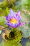 Lotus Flower Fotos de archivo libres de regalías