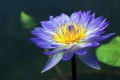 Lotus Flower Royaltyfri Fotografi