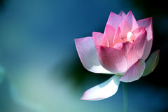 Free Lotus Flower Royalty Free Stock Photo - 32085675
