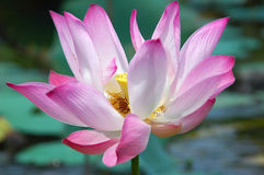 Lotus flower. At Lake Chini in Malaysia Royalty Free Stock Photos