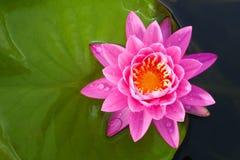 Lotus Flower Fotografía de archivo libre de regalías