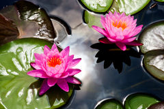 Lotus Flower Arkivfoton