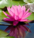 Lotus Flower royaltyfria bilder