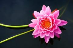 Lotus Flower Royaltyfria Foton
