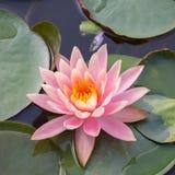 Lotus Flower Imagenes de archivo