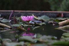 Lotus Flower Photographie stock libre de droits