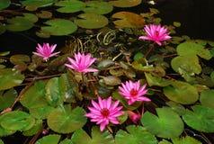 Lotus Flower Stockfotos