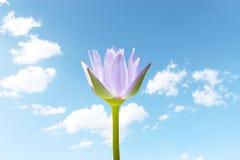 Lotus Flower Foto de archivo libre de regalías