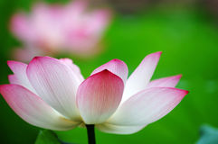 Lotus flower. A shot of blooming lotus flower showing its purity Royalty Free Stock Photography