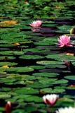 Lotus flower. In Botanischer Garten München-Nymphenburg Royalty Free Stock Photo