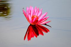 Free Lotus Flower Royalty Free Stock Photo - 47570765