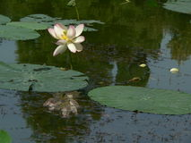 Lotus flower. Reflecting on the lake surface stock photo