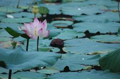 Lotus Flower. A lotus flower above a pond covered in pads Stock Photos