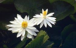 Lotus-flower. White lotus-flower Stock Images