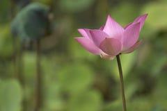 Lotus Flower. In bloom Stock Image