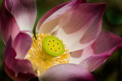 Lotus-flower Stock Photo