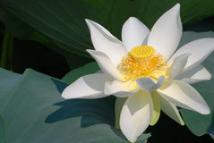 Free Lotus Flower Stock Photos - 9688233