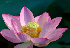 Lotus Flower. Pink Lotus Flower in Blossom Royalty Free Stock Photo