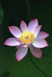 Lotus flower. After rain beautiful appearance lotus Royalty Free Stock Photos