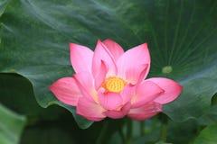 Lotus flower. After rain beautiful appearance lotus Royalty Free Stock Image