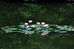 Lotus flower. After rain beautiful appearance lotus Stock Photos
