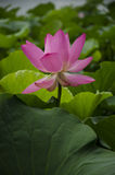 Lotus flower. The lotus, lotus, lotus, also known as water, belonging to the family of Nymphaeales, aquatic perennial herbaceous flowers Royalty Free Stock Photos