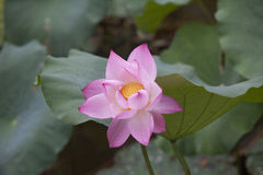 Lotus flower in Asia Stock Photography