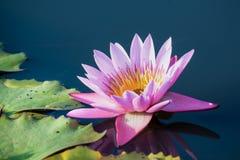 Lotus flower background Royalty Free Stock Photo