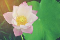 Lotus flower background stock image