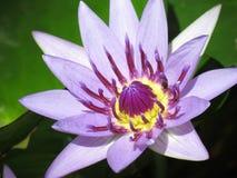 Purple Lotus Flowers Stock Images