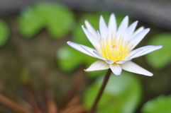 Lotus flower. Balenese Lotus flower in the Ubud garden royalty free stock photos