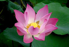 Lotus flower in Bali. Close up of a lotus flower on a lake Royalty Free Stock Image