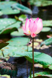 Lotus flower, Bali, Indonesia Royalty Free Stock Images