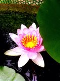 Lotus flower. Beautiful lotus flower Stock Photography