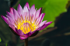 Lotus flower. This beautiful lotus flower, closed-up Royalty Free Stock Images