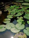Lotus flower. Beautiful flowers of a lotus (Nelumbo komarovii, Nelumbo Stock Photos