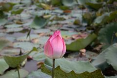 The lotus flower is beautiful and interesting to watch royalty free stock photo