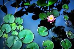 Lotus flower. Beautiful pink lotus flower in the lake stock images