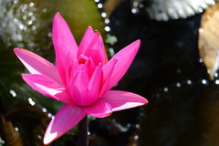 Lotus Flower. Beautiful pink lotus flower from nature Royalty Free Stock Photography