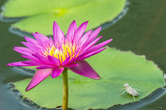 Lotus flower A beautiful pink waterlily in pond Stock Photos