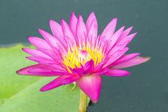Lotus flower A beautiful pink waterlily in pond Royalty Free Stock Images