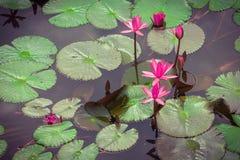 The lotus flower. Royalty Free Stock Photo