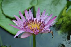 Lotus flower. Beautiful lotus flower on the water in Bangkok Stock Photos
