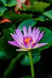 Lotus flower. Lotus Stock Photo