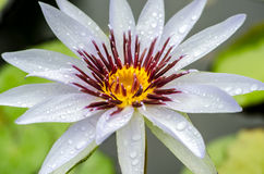 Lotus flower A beautiful white waterlily in pond Royalty Free Stock Image