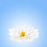 Lotus Flower Beauty Royalty Free Stock Photos