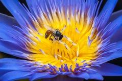 Lotus flower. Stock Photo