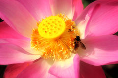 Lotus flower with bee. The bee collects honey in the lotus flower close up photo stock photo