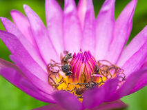 Lotus flower and bee Stock Photos